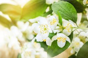 Flor de jasmim foto