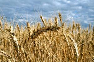 trigo amarelo maduro com talos por grãos