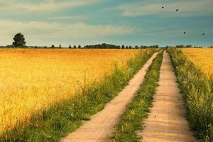 estrada rural entre campos de trigo