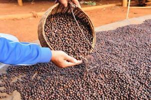grãos de café robusta secos foram despejados da cesta