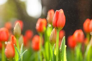 tulipa foto