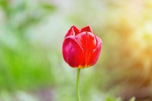 tulipa na cabeça do jardim suavemente desfocada em foco seletivo foto