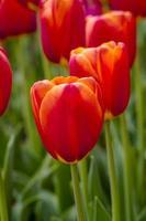 vale de skagit campos de tulipa de oregon foto