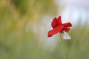 borboleta branca com veias pretas, aporia crataegi foto
