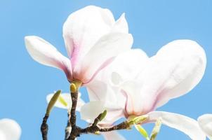 flores de magnólia em fundo azul foto