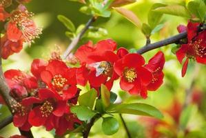 marmelo florescendo e uma abelha em voo foto