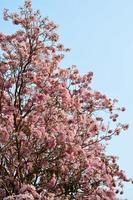 flores rosa flor de tabebuia rosea foto