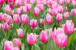 tulipas cor de rosa foto