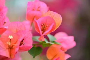 cores vibrantes de buganvílias foto