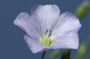 flores de linho (línum usitatíssimum) foto