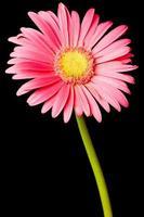 margarida rosa isolada foto