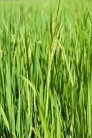 campo de arroz verde na Tailândia.