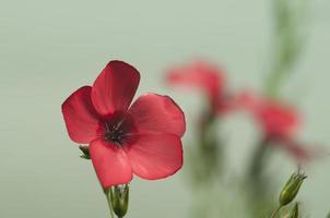 flores de linho (linum grandiflorum) foto
