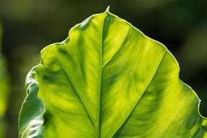 folha de alocasia gigante ou taro gigante foto