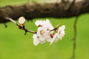 flor de árvore de damasco
