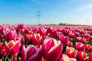 tulipas no sol da primavera.