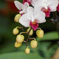 orquídeas rosa com coração roxo