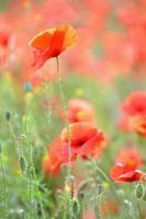 delicadas e lindas flores de papoula em campo ventoso foto