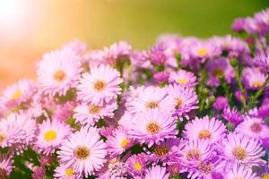 pequenas flores de astra no jardim. foto