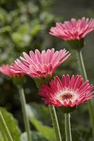 gerberas rosa