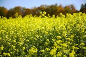 campo de óleo de colza amarelo canola, dia ensolarado, quebec, canadá foto