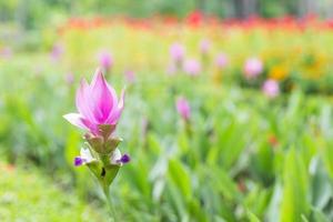 foto da flor de curcuma alismatifolia na Tailândia