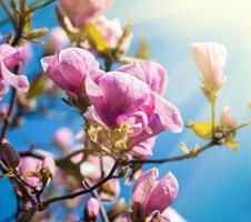 desabrochar de flores de magnólia foto