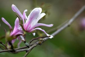 flores de magnólia foto
