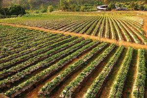 fazenda de morango foto
