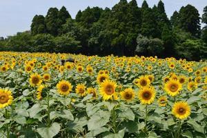fazenda de flores do sol