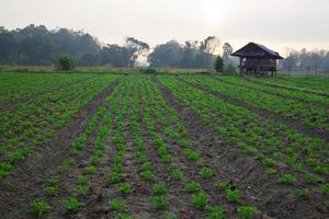 fazenda de amendoim foto
