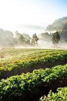 morangos de fazenda foto
