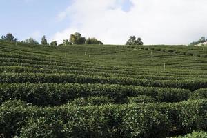 fazenda de plantação de chá