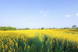 flores de crotalária de fazenda foto