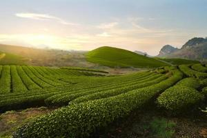 Tea Hills Farms