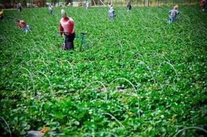 fazenda espantalho de morango