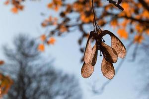 outono sementes de bordo