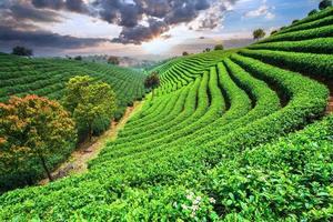plantações de chá sob o céu
