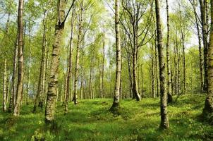 bela floresta de bétulas foto