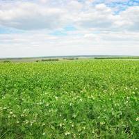campo de ervilhas e céu azul
