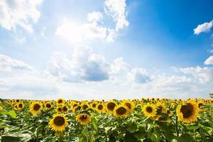 girassol com céu azul e céu. paisagem de verão foto