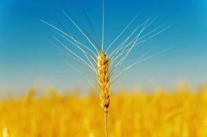 colheita dourada sob o céu azul foto