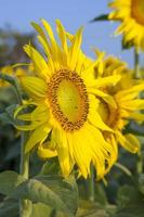 flor do sol contra céu azul foto