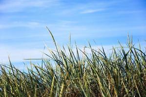 palhas de grama no céu azul