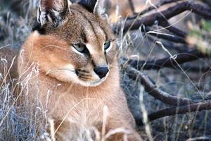 gato selvagem caracal na namíbia