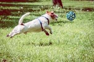 cachorro brincando com uma bola