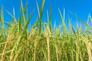 campo de arroz e céus