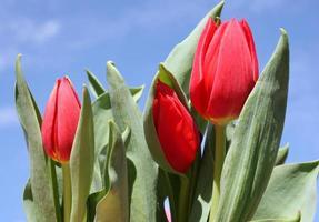 tulipas vermelhas e céu azul