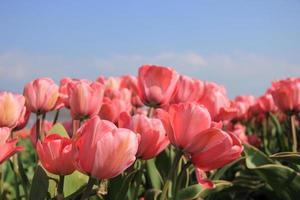 tulipas rosa e um céu azul