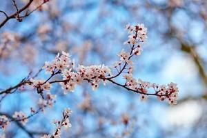 flores de cerejeira contra o céu azul